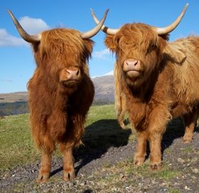 friendly_highland_cows_280x272_jpeg.jpg